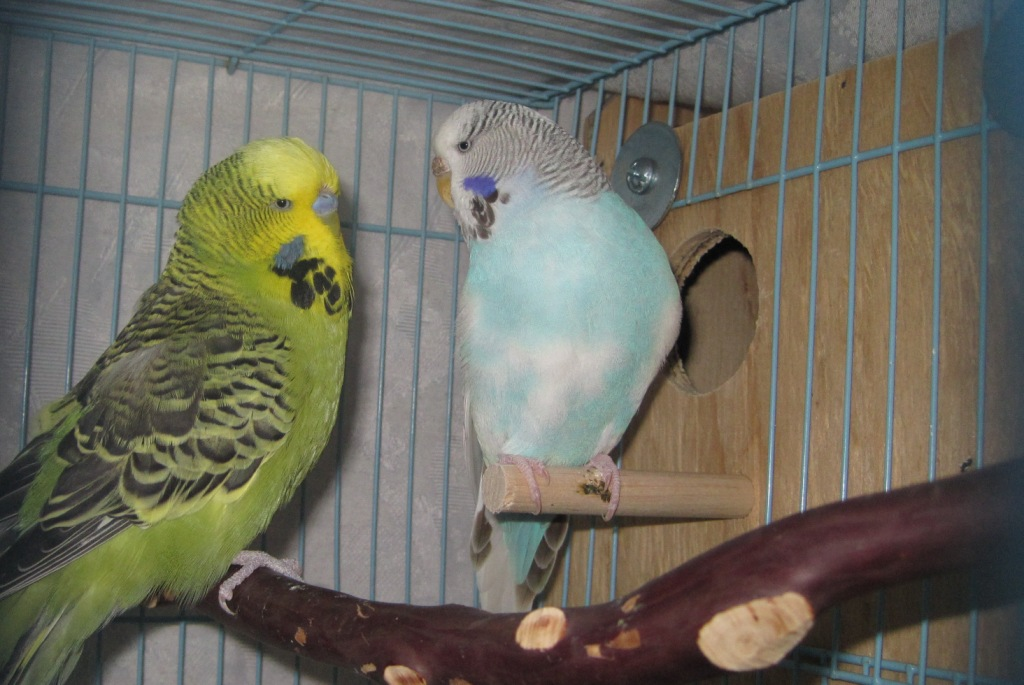 Budgie Care - Welcome to Budgies 101